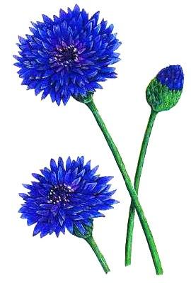 Тип соцветия василька