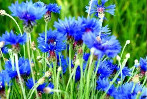 в чистом поле васильки цветут цветут цветут