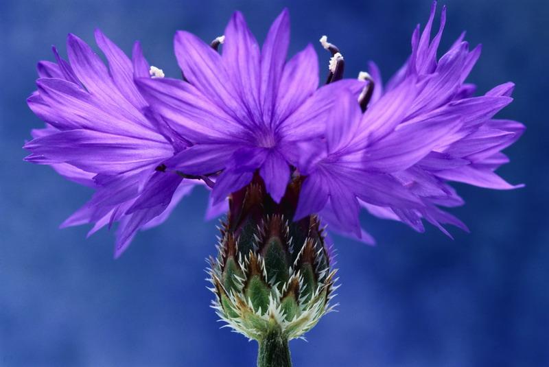 186Строение схема цветка василька